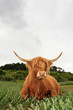 Scottish highlander cow in grass dune landscape with cloudy sky.