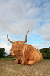 Scottish highlander cow in grass dune landscape with blue cloudy