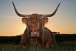 Scottish highlander cow in grass dune landscape at sunset.