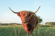 Scottish highlander cow walking to camera in grass dune landscap