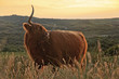 Scottish highlander cow standing in field of grass in dune lands