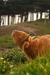 Close-up of scottish highlander cow with big horns scratching hi