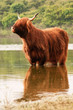 One scottish highlander standing in water. Cooling down.