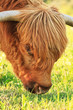Close-up of scottish highlander cow with flies around his eye. E