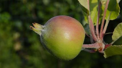 junger Apfel am Baum