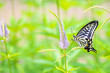 A swallowtail butterfly perched on veronicastrum japonicum