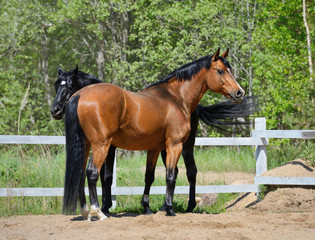 Two purebred horses on manege