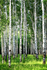 Beautiful evening Birch Grove in june