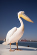 Pelican full body portrait