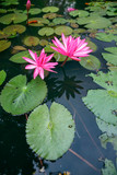 Beautiful pink lotus in the pond