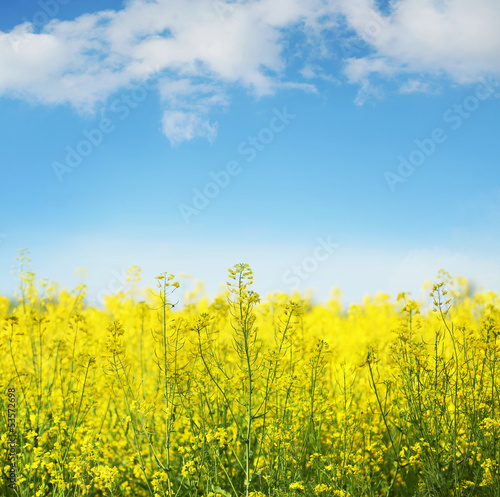 Leinwandbild Motiv Yellow field rapeseed in bloom