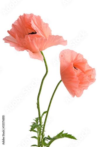 In de dag Poppy Zwei rosa Mohnblumen