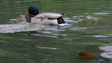 Ducks mating on the pond