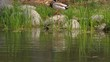 Ducks on the pond in the park. Slow motion