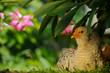 Chicken Sitting Under Bush