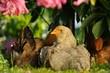Chickens Sitting Under Bush
