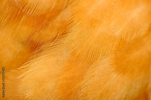 Red Chicken Feathers Macro