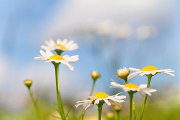 Margeritenwiese im Sommer