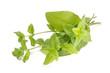 mięta - zioła