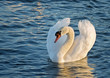 Elegant white swan swimming in the ocean.
