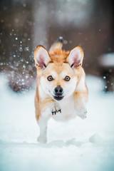 Hund rennt durch den Schnee