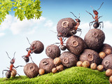 team of ants collecting seeds in stock, teamwork - Fine Art prints