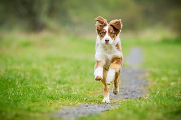 Australian Shepherd Welpe im Rennen