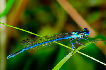 Blue Damselfly ( Enallagma cyathigerum )