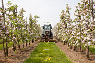 mowing grass in blossoming orchard in Holland