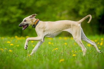 Sloughi Welpe rennt auf der Wiese