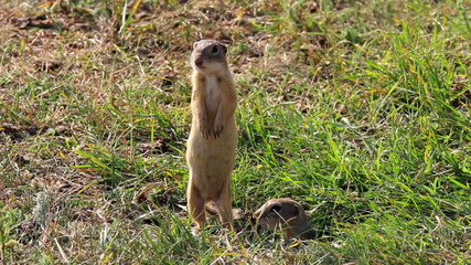 The European ground squirrel (Spermophilus citellus)