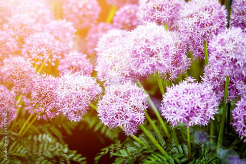 purple allium flowers