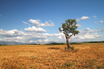 Alone tree in the field Provence, France