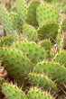 Yellow Prickly Pear Cactus