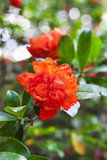 beautiful red flowers blooming pomegranate