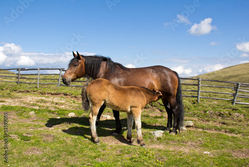 Female Horse Nursing Foal