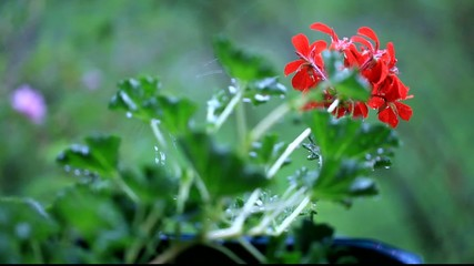 Pelargonium in the rain