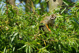 common squirrel monkey sitting in a tree