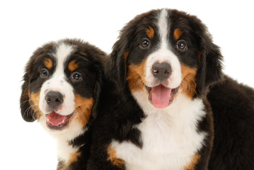 Two bernese sennenhund puppies