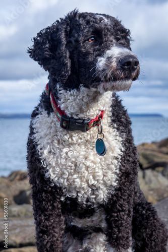 Cassie the Spanish Water Dog