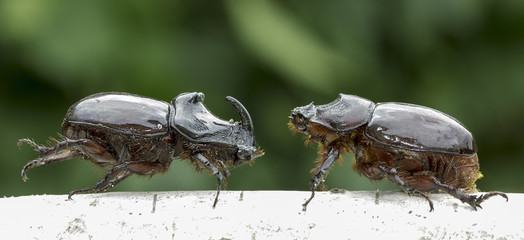 European rhinoceros beetle, male and female (O. nasicornis)