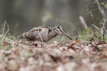 Woodcock, Scolopax rusticola