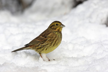 Yellowhammer, Emberiza citrinella