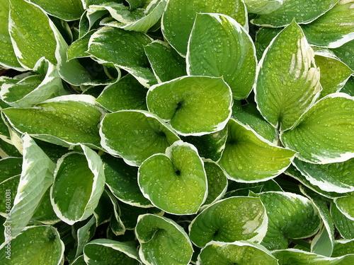 Grüne Blätter mit perlenden Wassertropfen in einer Grünanlage