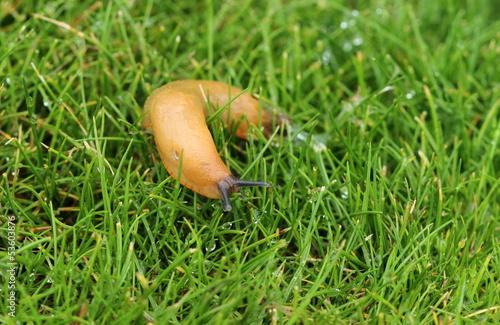 Une limace sur la pelouse