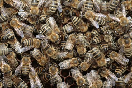 Many bees on the honeycombs, full frame