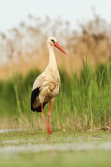white Stork hunting - Ciconia ciconia