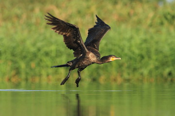 The Grat Cormorant start fly - Phalacrocorax carbo