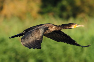 The Grat Cormorant flying - Phalacrocorax carbo