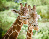 Close up portrait of giraffe  (Giraffa camelopardalis)
